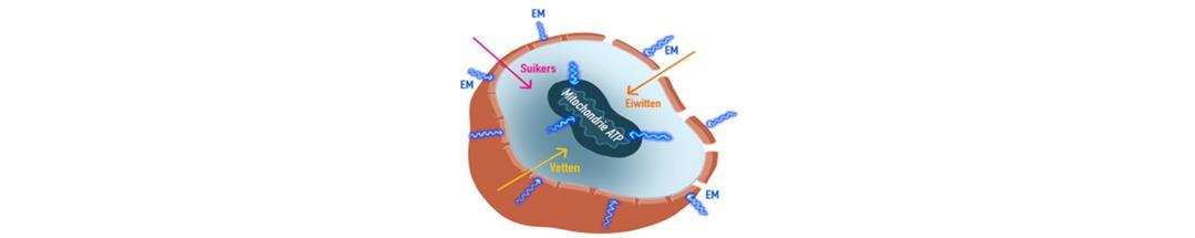 Mitochondrie ATP